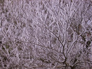 frost on dogwood