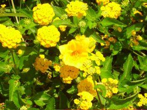 daylily and lantana