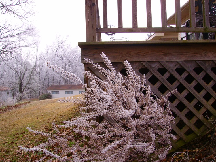 launch of frosted bush