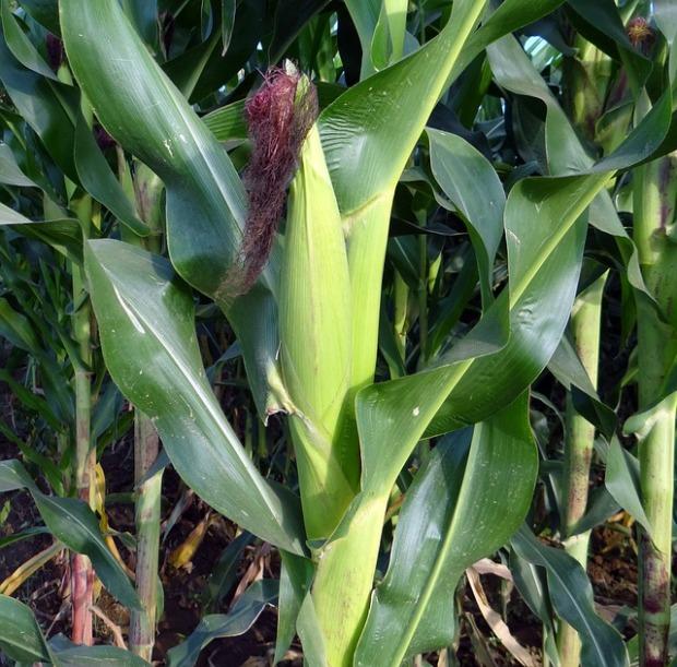 Good corn!