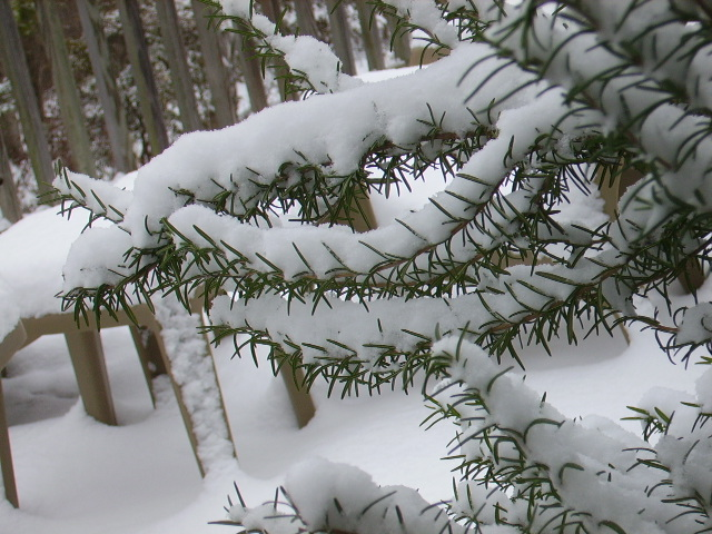 Snow on Rosemary