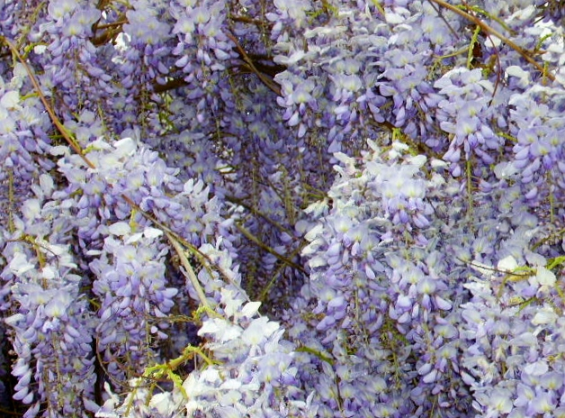 Do you know the difference between wisteria and lilac? This is wisteria!