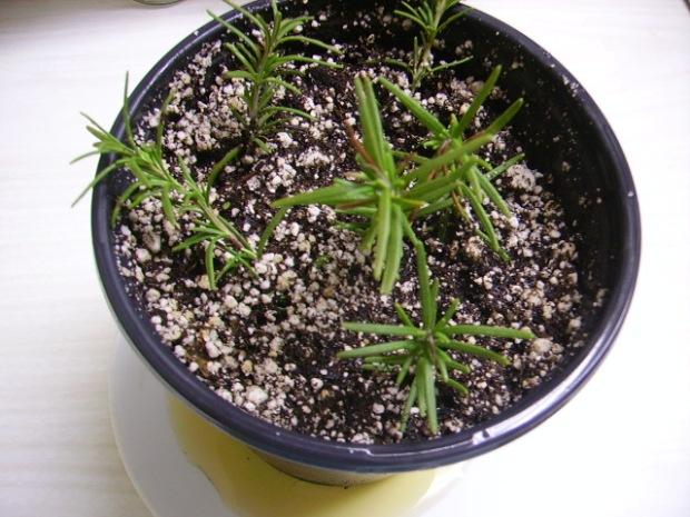 Sprigs in soil