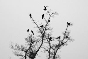 Winter tree full of crows, against overcast sky