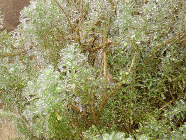 Rosemary bush obliterated in ice after Winter Storm Octavia
